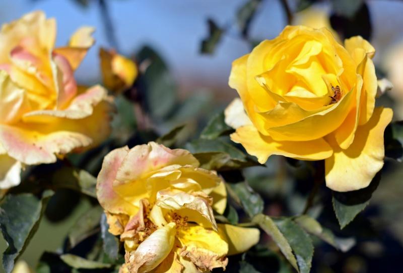 Yellow-Roses-11_30_13