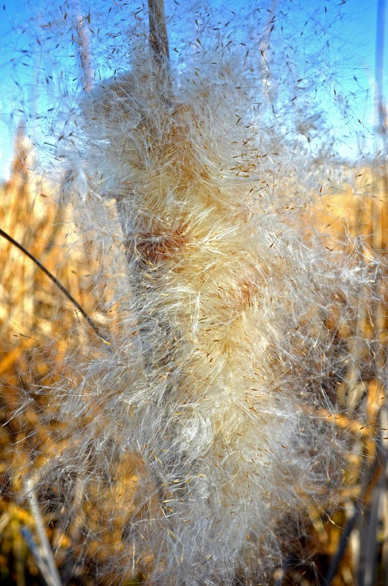 Cattails-1_14_14