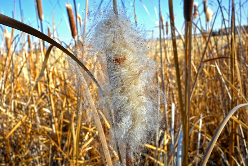 Cattails2-1_14_14