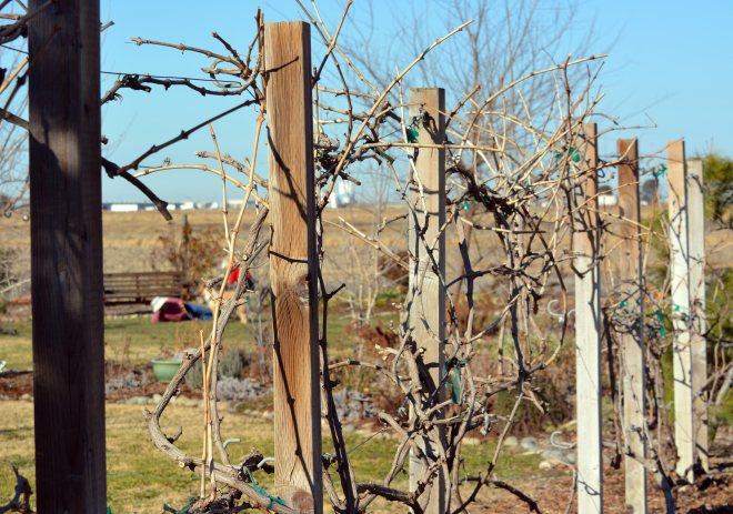 Grapes-Pruned-1_14