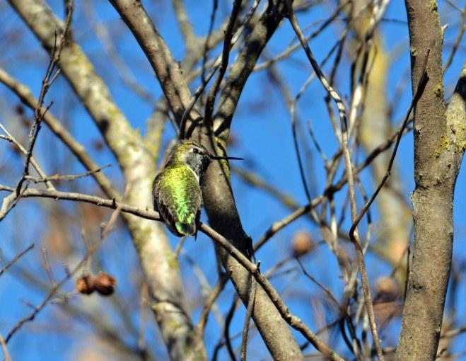 Hummingbird-Branch-2-1_14