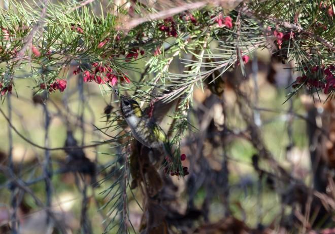 Hummingbird-Grevillia-1_14
