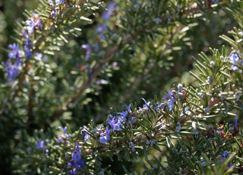 Lavender-1_14
