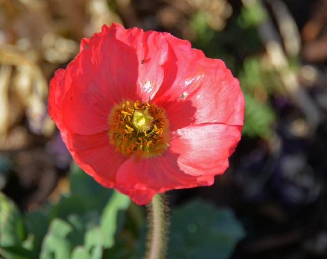 Poppy-1_14