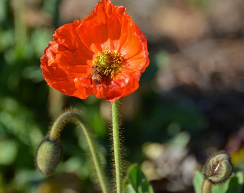 Poppy2-1_14