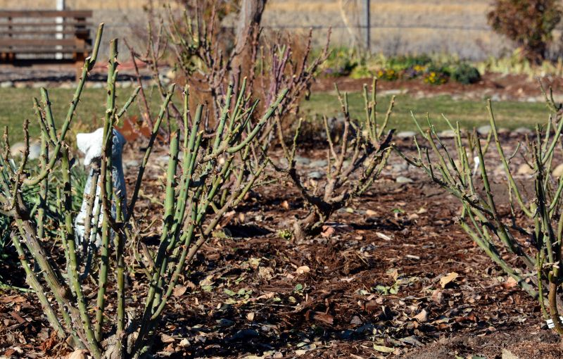 Roses-Pruned-1-14