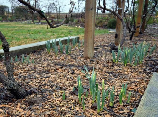 Daffodils-2_8_14