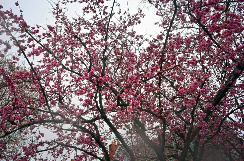 Flowering-Plum-2_14