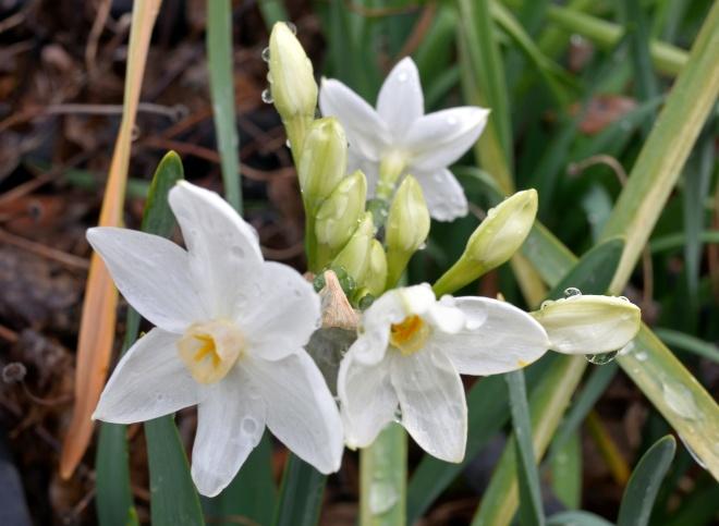 Narcissus-Rain-2_1_14