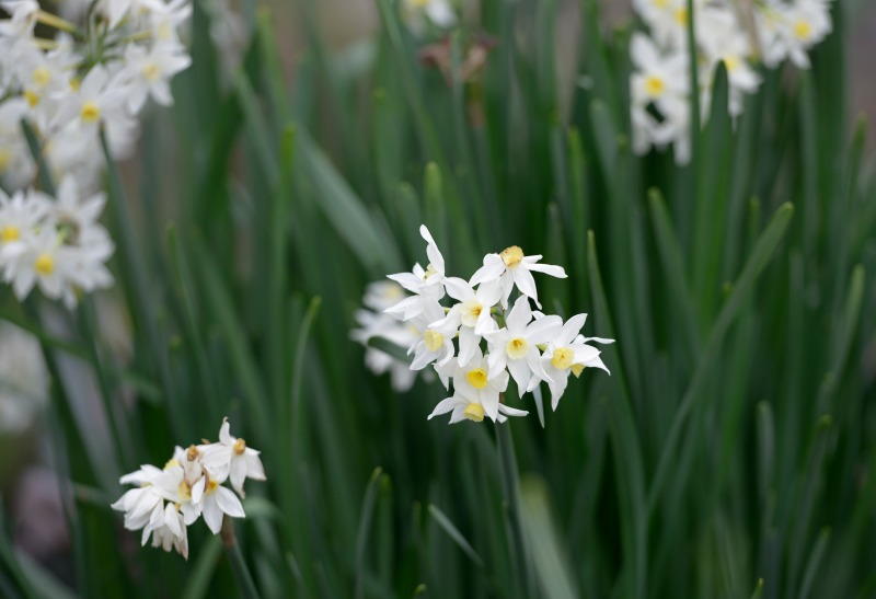 Narcissus_DSC9310