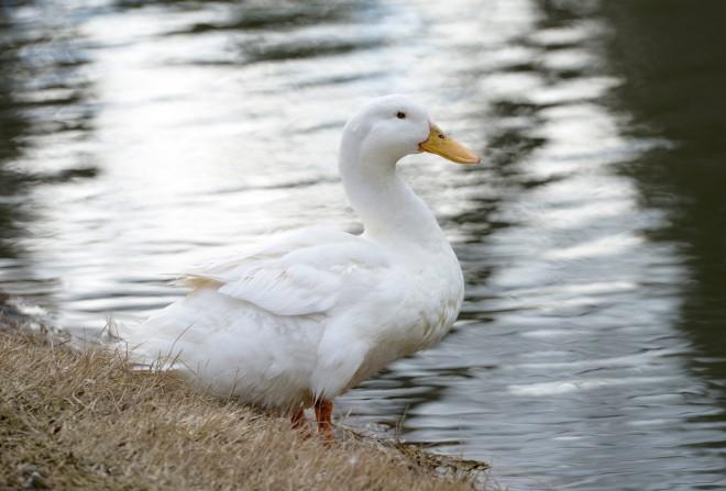 White-Duck_DSC9341