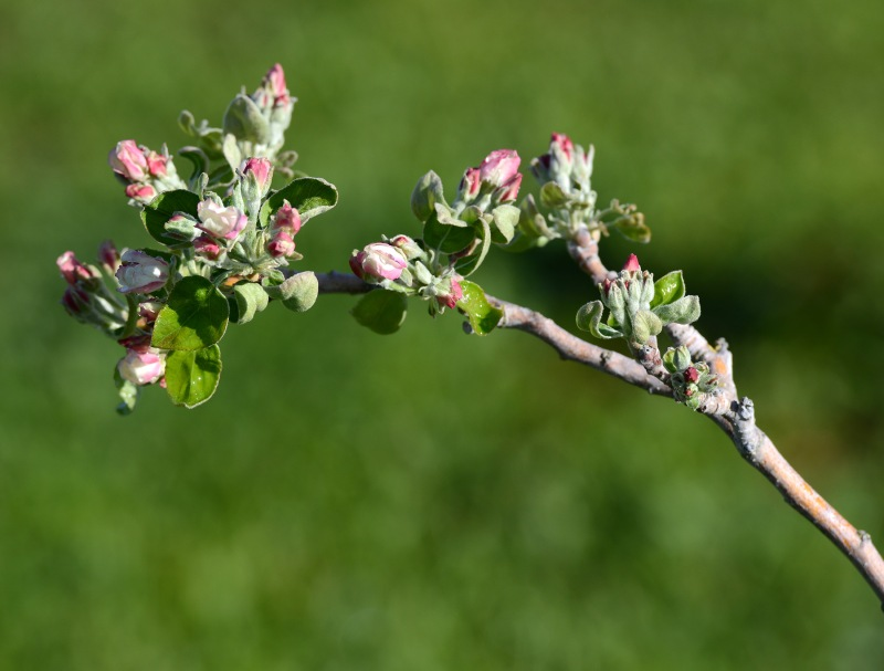 Apple-Blossom_DSC_1716