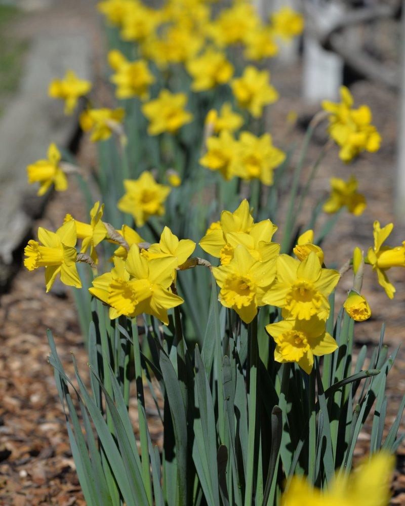Daffodil_DSC_5679