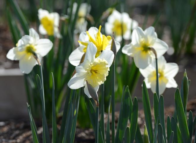 Daffodils_3_14