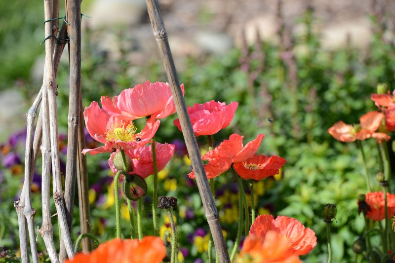 Iceland-Poppies_3_14