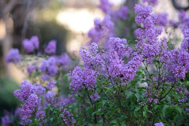 Lilac_DSC_1670