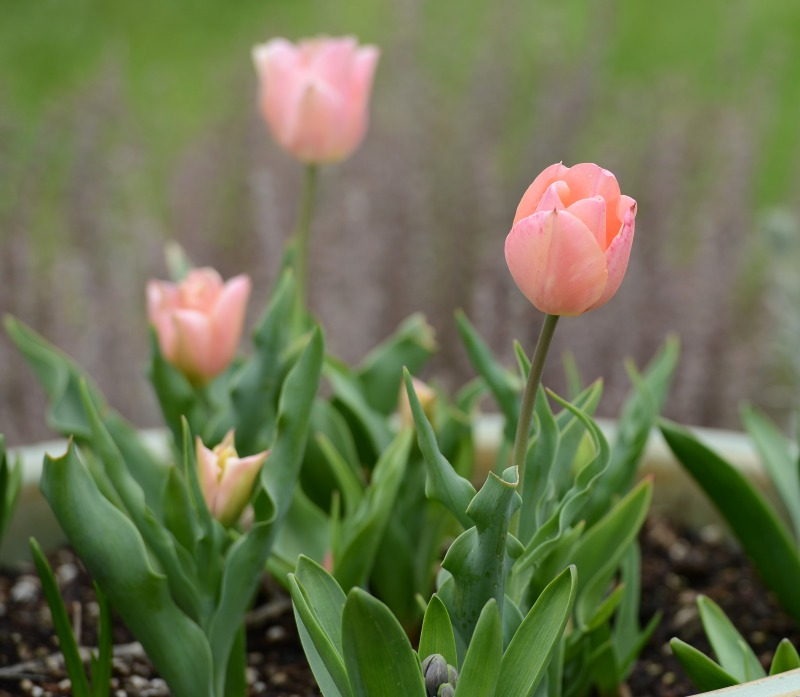 Tulip_DSC_0523