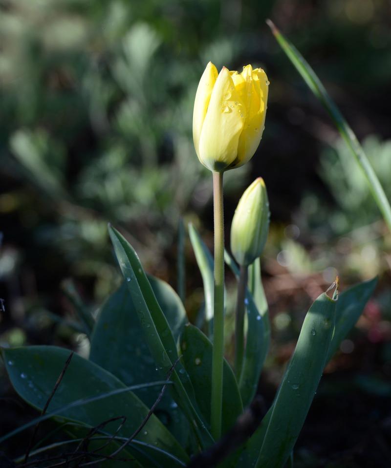 Tulip_DSC_1710