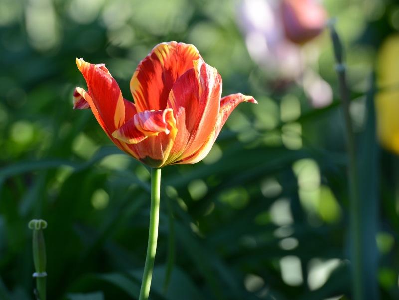 Tulip_DSC_9164