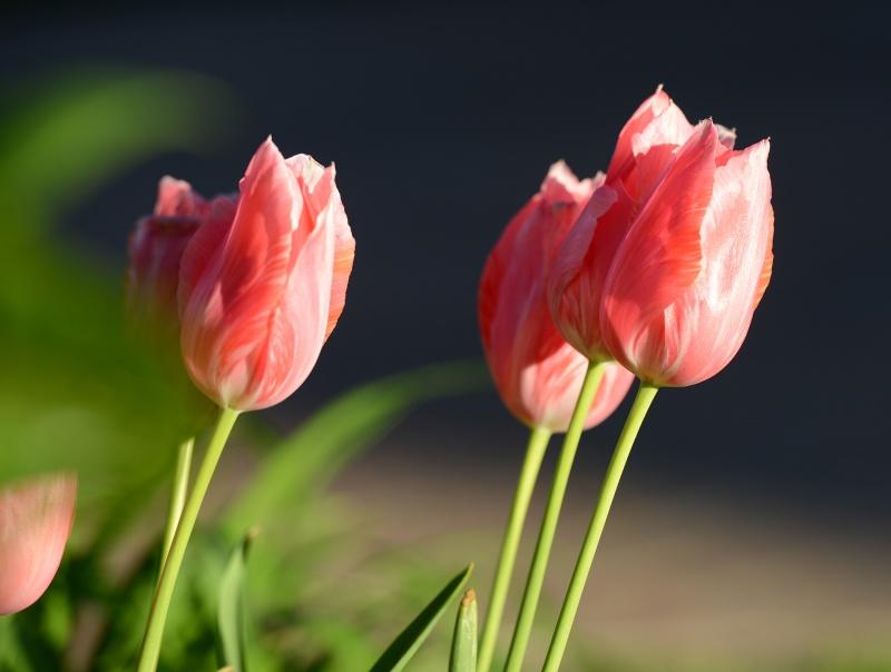 Tulip_DSC_9167