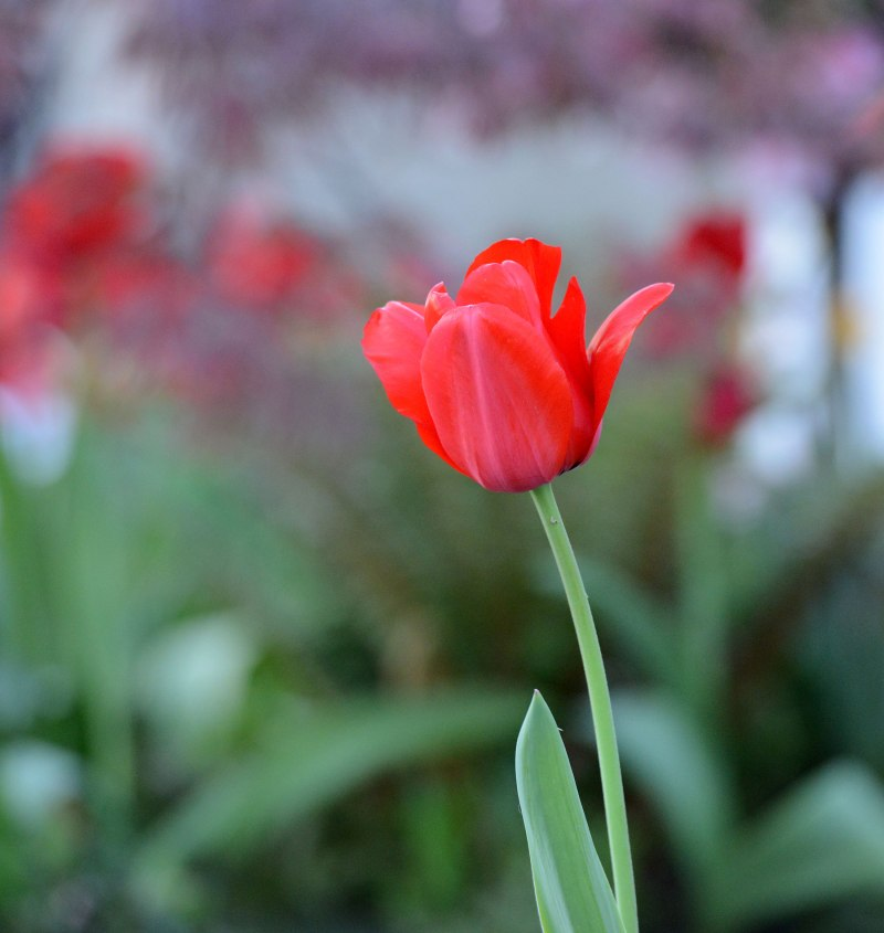 Tulip_DSC_9206