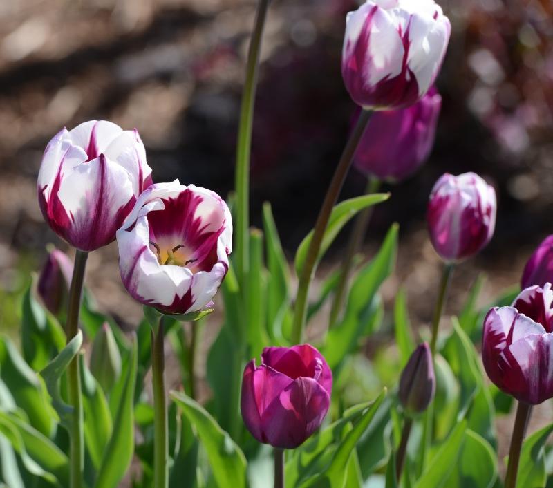 Tulips_3_14