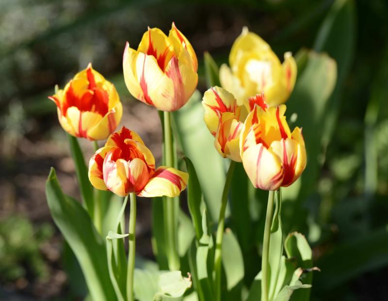Tulips_DSC_1601