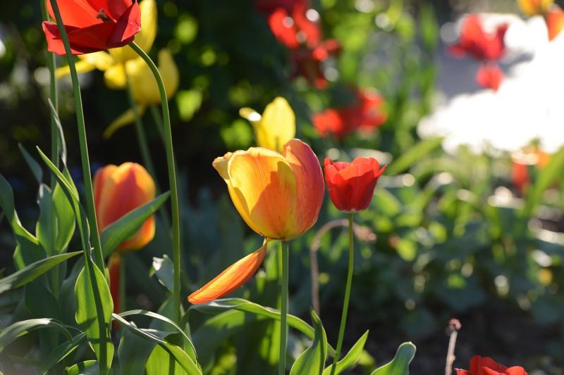 Tulips_DSC_1664