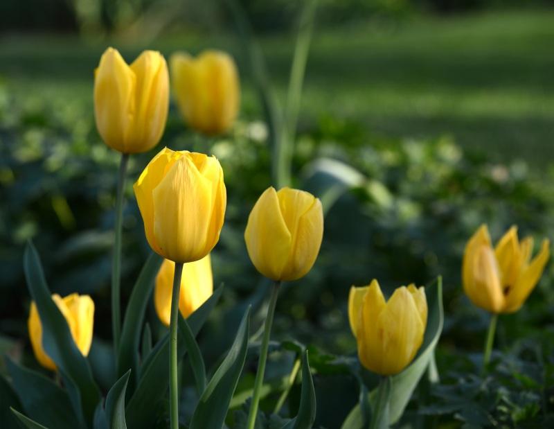 Tulips_DSC_1665
