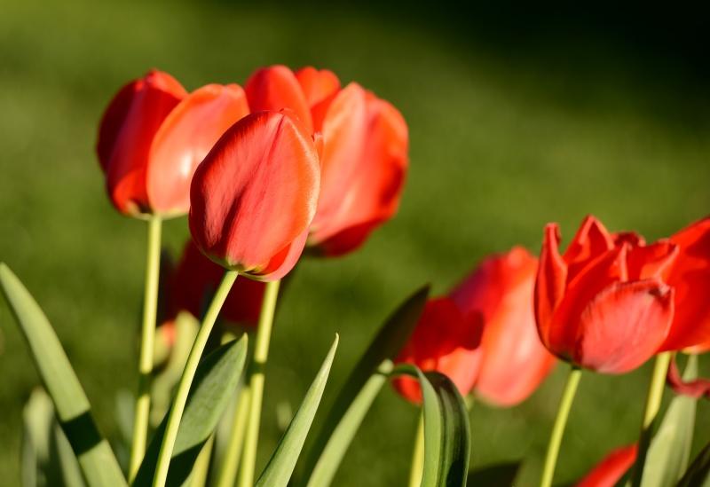 Tulips_DSC_9188