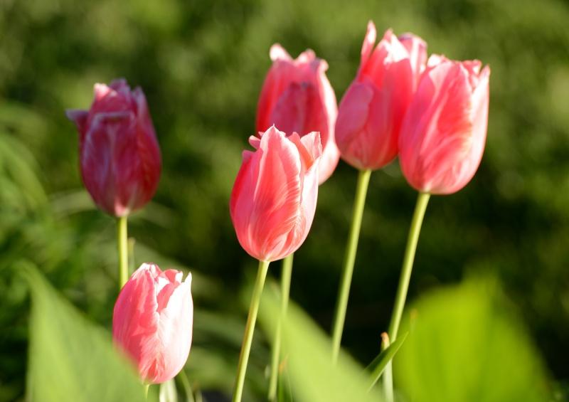 Tulips_DSC_9189