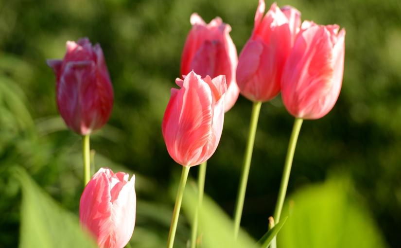 Wordless Wednesday: Tulips