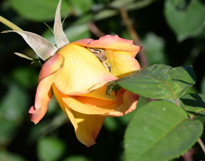Frogs-Rose_DSC_0275