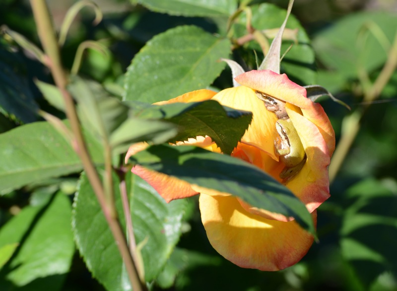 Frogs_Rose_DSC_0274