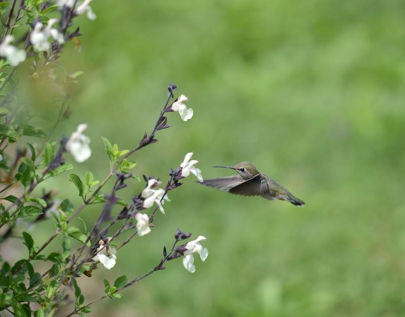 Hummingbird_DSC_1595
