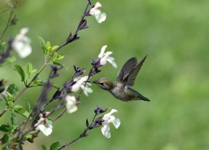 Hummingbird_DSC_1596