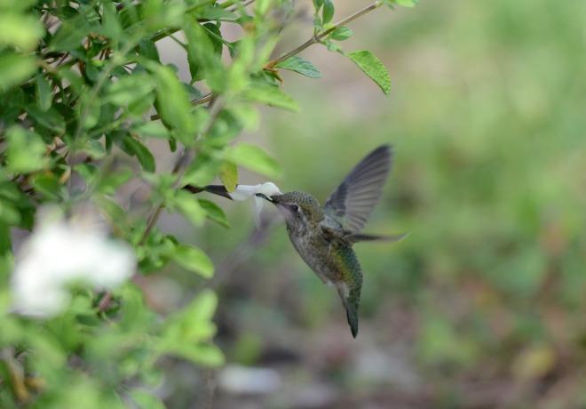 Hummingbird_DSC_1612