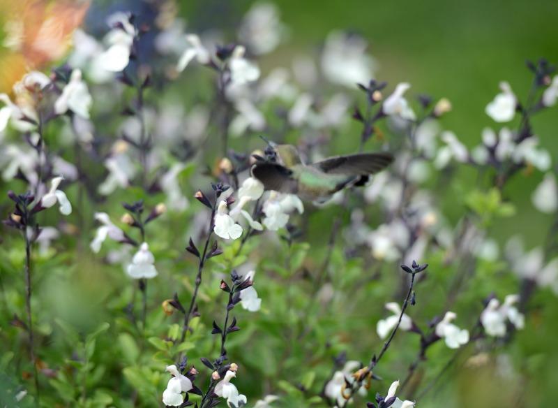 Hummingbird_DSC_1613