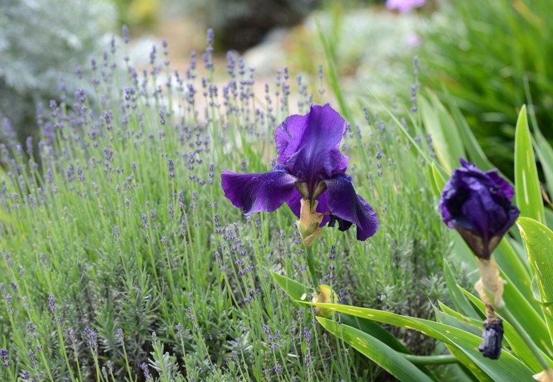 Iris_Lavender_DSC_1640