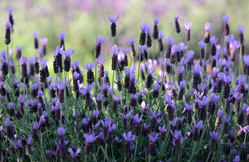 Lavender_DSC_0784