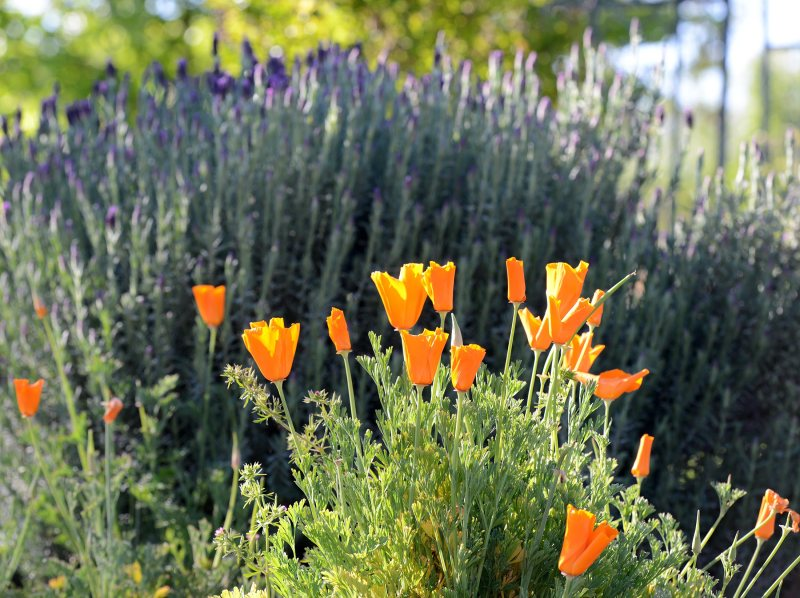 Poppies-Lavender_DSC_0264