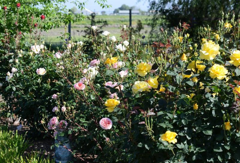 Rose-Garden_DSC_0574
