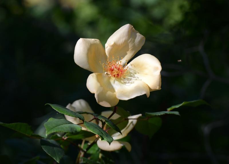 Rose_DSC_0891