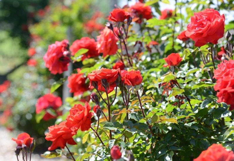 Roses_DSC_1064