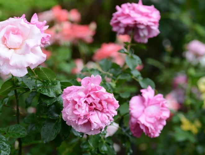 Roses_DSC_1343