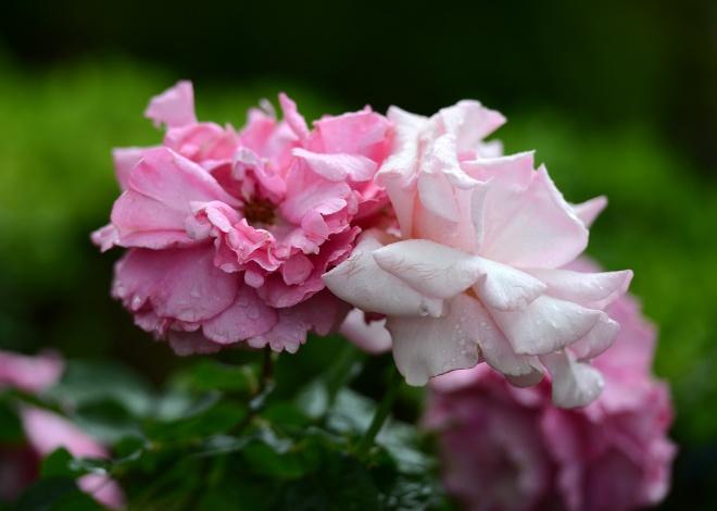 Roses_DSC_1345