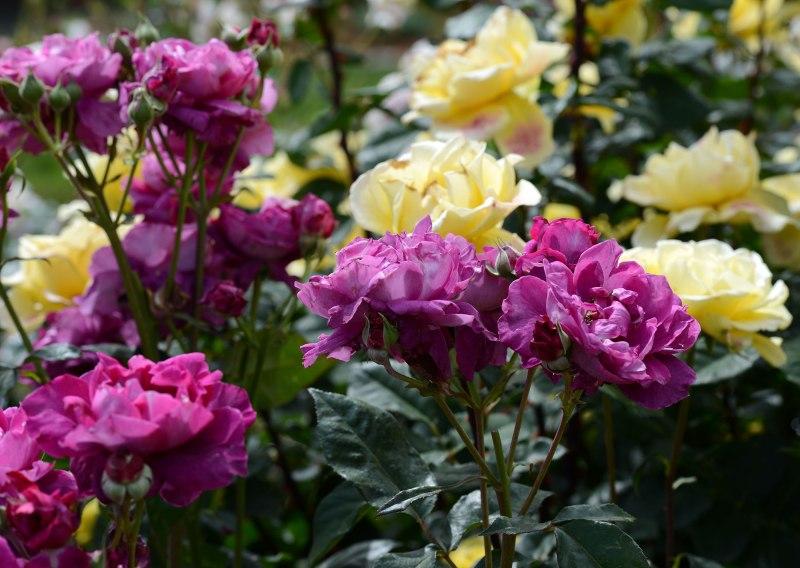Roses_DSC_1630