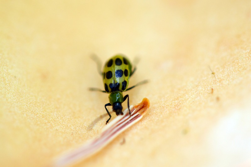 Cucumber-Bug_DSC_0539