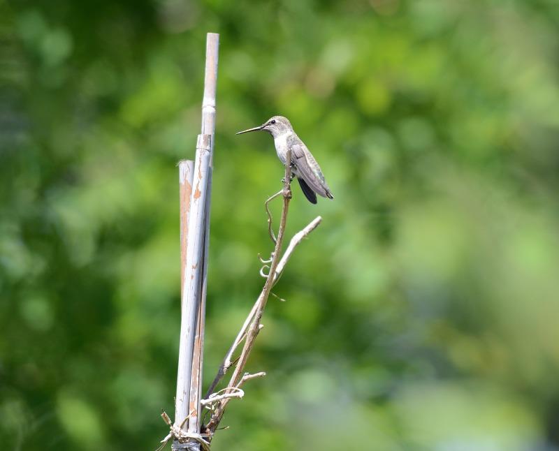 Hummingbird_DSC_2602