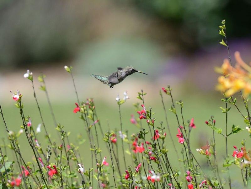 Hummingbird_DSC_2615